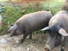 katie pigs
