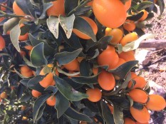 Kumquats growing at Finca San Ramon.